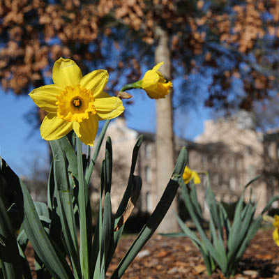 Close up of daffodils on campus.