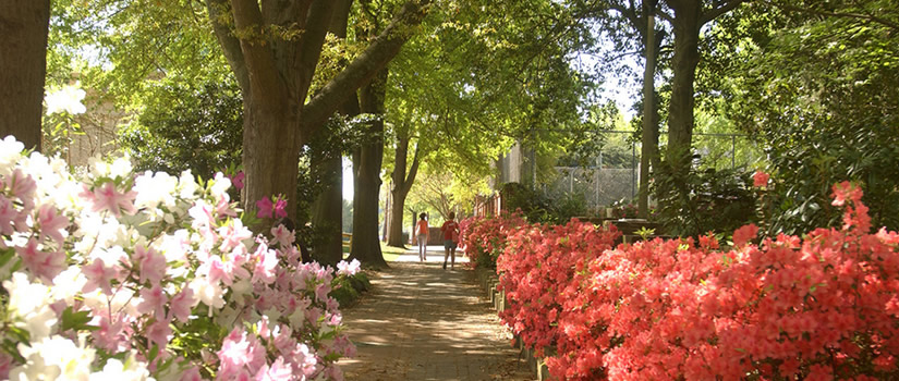 Azaleas bloom on the horseshoe in spring.