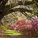 Oak trees and azeleas