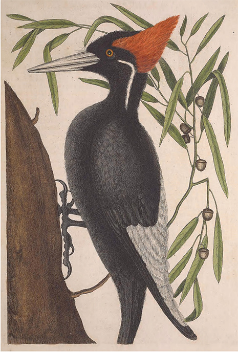 Catesby collection woodpecker