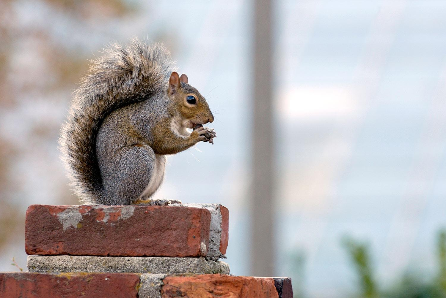 Squirrel eating a nut while sitting on the brick wall surrounding the Historic Horseshoe.
