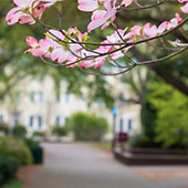 pink dogwood tree flowers with a view of campus in background