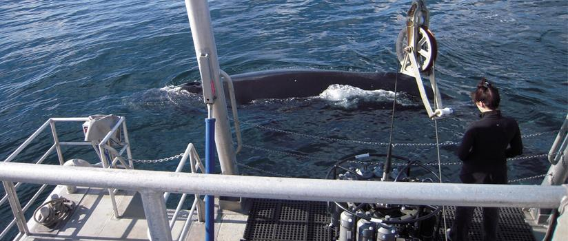 A student looks over the side of a boat at a nearby whale.