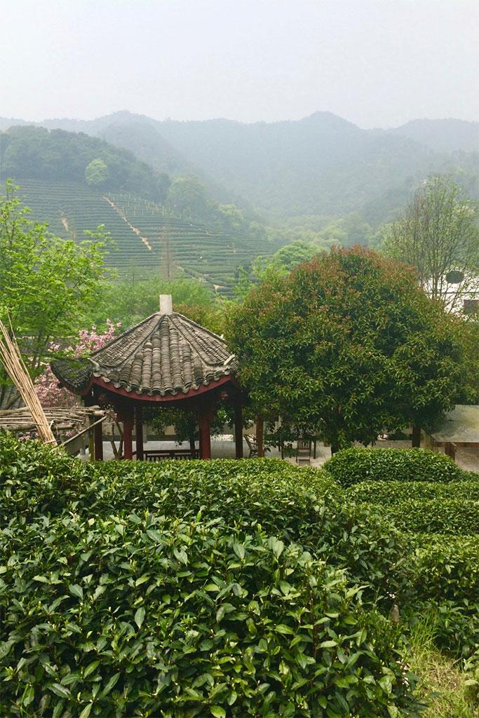 Longjing tea plantation in Hangzhou, China