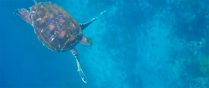 Galapagos sea turtle swimming in the crystal blue water