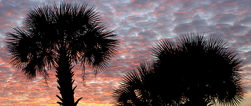 Palmetto trees at sunset