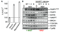 NAD+ level was measured after serum starvation and treatment with resveratrol (RSV), conditions that activate PARP1 (2). B. NAD+ is indispensable for the nuclear functions of TyrRS. Inhibition of NAD+ regeneration through the salvage pathway using NAMPT inhibitor downregulates TyrRS/PARP1-dependent protective stress response in HeLa cells. Differential induction of protective stress response pathway proteins in the presence (+) and absence (-) of NAD+ were obtained after treatment with NAMPT inhibitor. This panel also represents images of proteins depicted in Fig.2.  PAR represents the poly-ADP-ribose polymer (image adapted from Sajish M and Schimmel, P. Nature 2015)