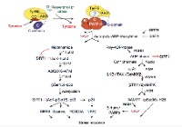 Simplified representation of the NAD+ signaling pathways activated by TyrRS-mediated activation of PARP1 resulting in the inhibition of SIRT1 and regeneration of NAD+ (image adapted from Sajish M and Schimmel, P. Nature 519, 370–373, 2015).