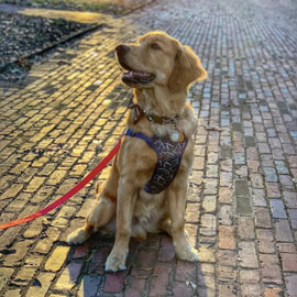 Photo of a golden retriever sitting on a brick path on the USC horsehoe