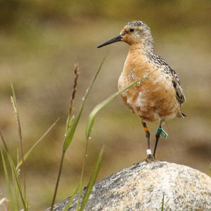 reddish brown bird (Red Knot) stands on a rock