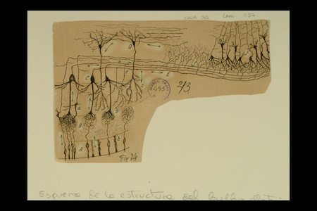 cajal_olfactory_drawing