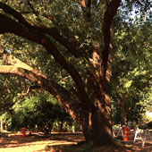 New live oak on the Horseshoe