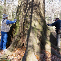 Volunteers measuring champion trees